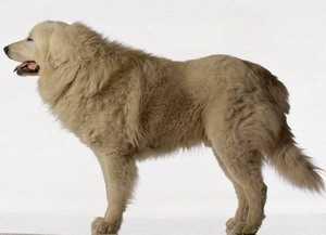 脉一带用来保护羊群,驱退那些袭击羊群的熊或狼.本犬的祖先是一千
