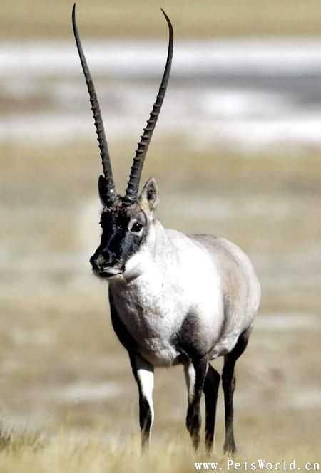 我国最珍,濒,特的十种野生动物