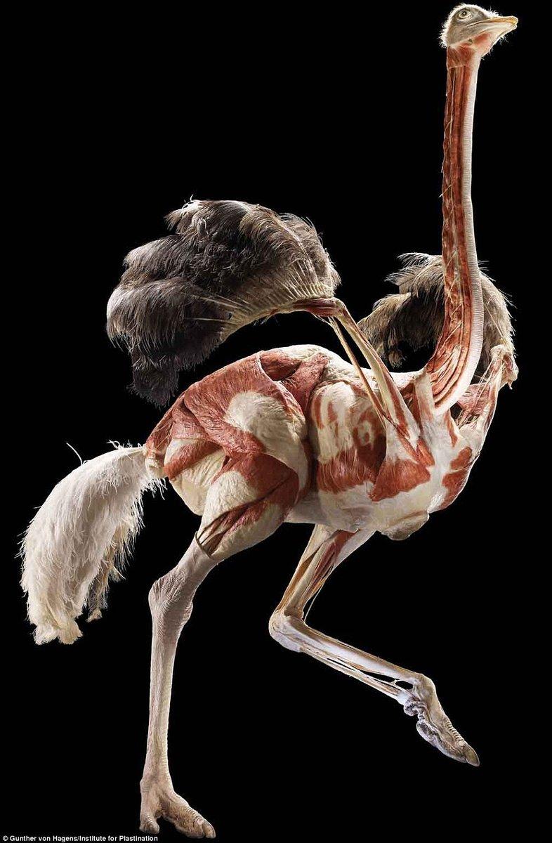 长颈鹿手绘骨架