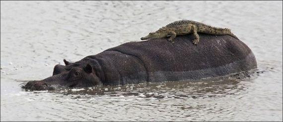 可爱的鳄鱼宝宝误将一头巨大的河马当做是岩石,趴在后者的背上晒太阳.