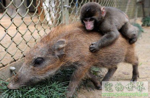 令人感动的世界上七大神奇的种族间动物收养:野猪和